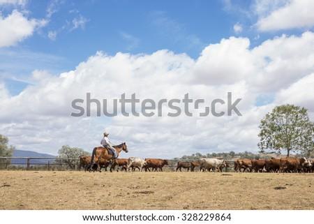 Australian stockman mustering cattle