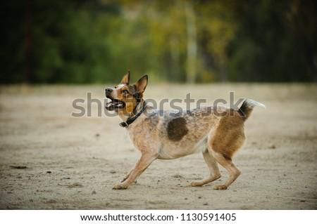 Australian Stuby Tail Cattle Dog outdoor portrait in field  Foto stock ©