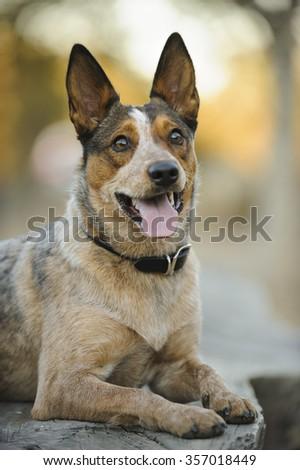 Australian Stumpy Tail Cattle Dog lying on bench Foto stock ©