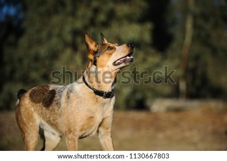 Australian Stumpy Tail Cattle Dog outdoor portrait Foto stock ©