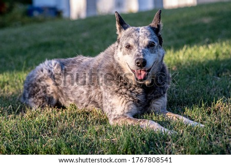 Australian Stumpy Tail Cattle Dog Outdoor Portraits Foto stock ©