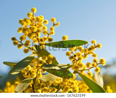Australian symbol- australian acacia Wattle blooms - on sky natural background