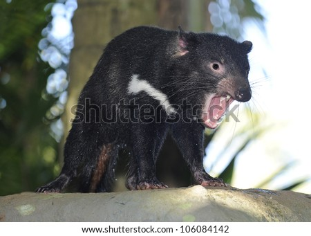 australian tasmanian devil snarling showing teeth, queensland, australia