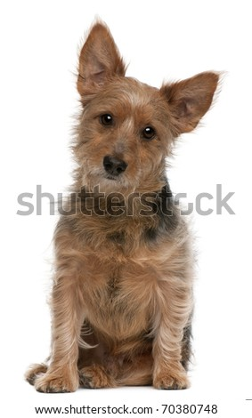 Australian Terrier dog, 9 years old, sitting in front of white background