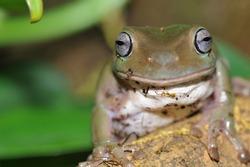 Australian tree frog (Litoria caerulea) sits on a tree