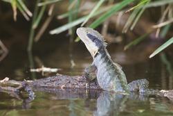Australian Water Dragon Intellagama lesueurii on log at Barrington Tops National Park, New South Wales, Australia