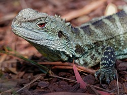 Australian water dragon - Intellagama or Physignathus lesueurii, eastern water dragon (ss. lesueurii ) and Gippsland water dragon (ss. howittii ) subspecies, arboreal agamid native to Australia