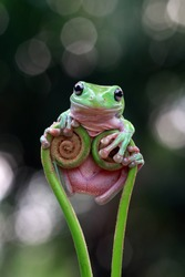 Australian white tree frog on leaves, dumpy frog on branch, animal closeup, amphibian closeup