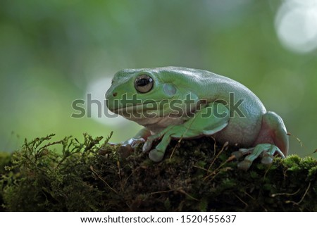 Australian white tree frog on leaves, dumpy frog on branch, animal closeup, amphibian closeup #1520455637