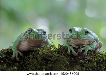 Australian white tree frog on leaves, dumpy frog on branch, animal closeup, amphibian closeup #1520456006