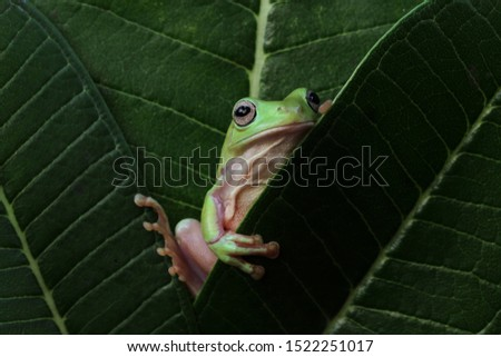 Australian white tree frog on leaves, dumpy frog on branch, animal closeup, amphibian closeup #1522251017