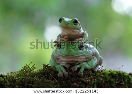 Australian white tree frog on leaves, dumpy frog on branch, animal closeup, amphibian closeup #1522251143