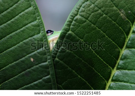 Australian white tree frog on leaves, dumpy frog on branch, animal closeup, amphibian closeup #1522251485