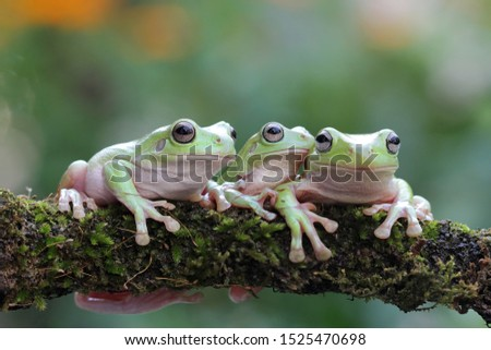 Australian white tree frog on leaves, dumpy frog on branch, animal closeup, amphibian closeup #1525470698