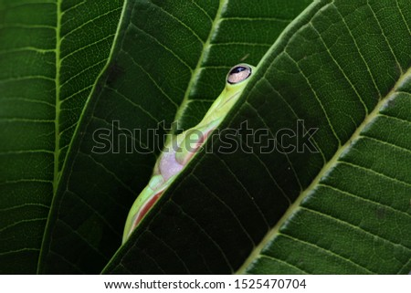 Australian white tree frog on leaves, dumpy frog on branch, animal closeup, amphibian closeup #1525470704