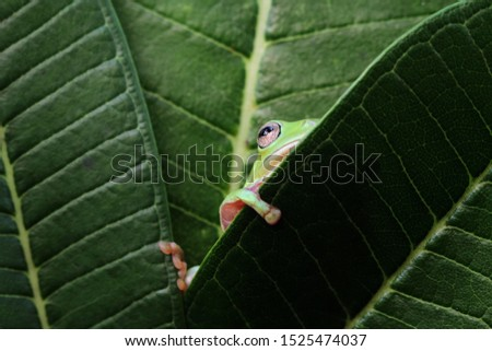 Australian white tree frog on leaves, dumpy frog on branch, animal closeup, amphibian closeup #1525474037