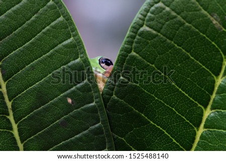 Australian white tree frog on leaves, dumpy frog on branch, animal closeup, amphibian closeup #1525488140
