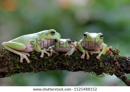 Australian white tree frog on leaves, dumpy frog on branch, animal closeup, amphibian closeup #1525488152