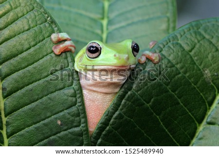 Australian white tree frog on leaves, dumpy frog on branch, animal closeup, amphibian closeup #1525489940