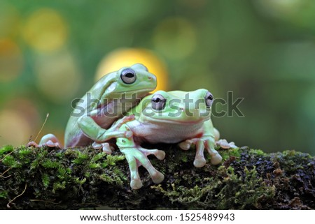 Australian white tree frog on leaves, dumpy frog on branch, animal closeup, amphibian closeup #1525489943