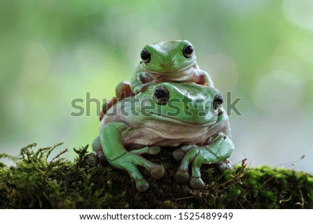 Australian white tree frog on leaves, dumpy frog on branch, animal closeup, amphibian closeup #1525489949