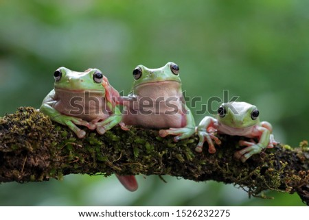 Australian white tree frog on leaves, dumpy frog on branch, animal closeup, amphibian closeup #1526232275