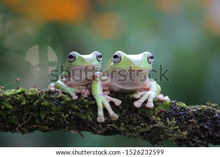 Australian white tree frog on leaves, dumpy frog on branch, animal closeup, amphibian closeup #1526232599