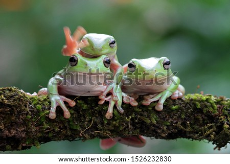 Australian white tree frog on leaves, dumpy frog on branch, animal closeup, amphibian closeup #1526232830