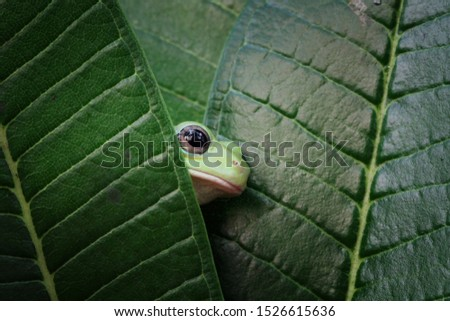 Australian white tree frog on leaves, dumpy frog on branch, animal closeup, amphibian closeup #1526615636