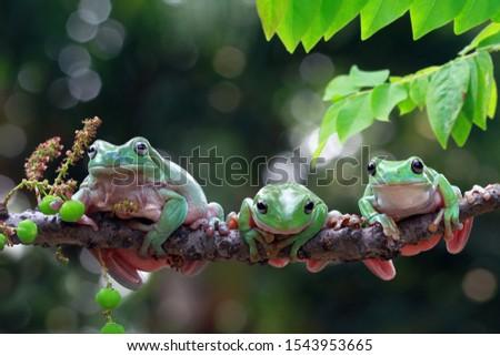 Australian white tree frog on leaves, dumpy frog on branch, animal closeup, amphibian closeup #1543953665