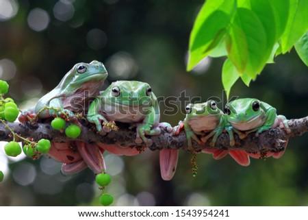 Australian white tree frog on leaves, dumpy frog on branch, animal closeup, amphibian closeup