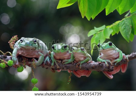 Australian white tree frog on leaves, dumpy frog on branch, animal closeup, amphibian closeup #1543954739