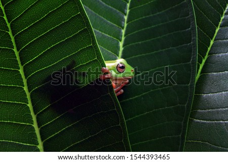 Australian white tree frog on leaves, dumpy frog on branch, animal closeup, amphibian closeup #1544393465
