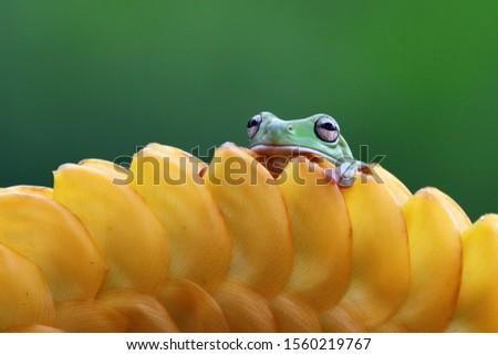 Australian white tree frog on leaves, dumpy frog on branch, animal closeup, amphibian closeup #1560219767