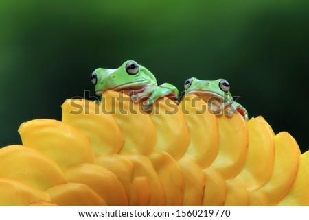 Australian white tree frog on leaves, dumpy frog on branch, animal closeup, amphibian closeup #1560219770