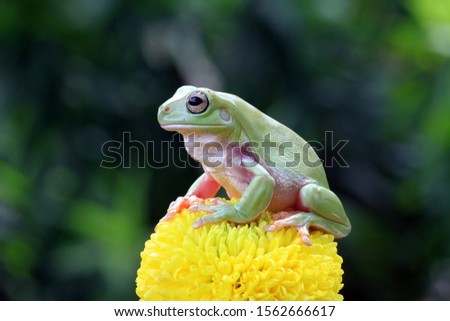 Australian white tree frog on leaves, dumpy frog on branch, animal closeup, amphibian closeup #1562666617