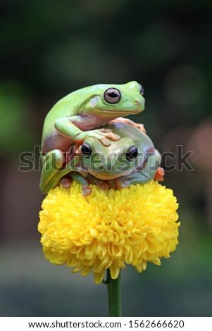 Australian white tree frog on leaves, dumpy frog on branch, animal closeup, amphibian closeup #1562666620