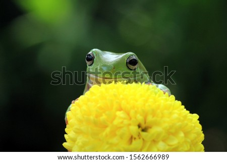 Australian white tree frog on leaves, dumpy frog on branch, animal closeup, amphibian closeup #1562666989