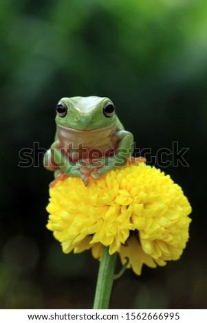 Australian white tree frog on leaves, dumpy frog on branch, animal closeup, amphibian closeup #1562666995
