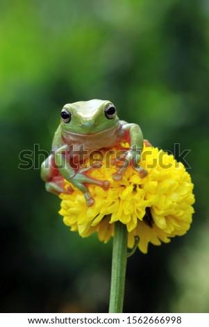Australian white tree frog on leaves, dumpy frog on branch, animal closeup, amphibian closeup #1562666998