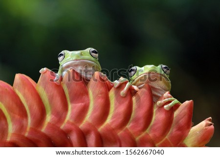 Australian white tree frog on leaves, dumpy frog on branch, animal closeup, amphibian closeup #1562667040
