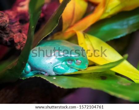 Australian white tree frog on leaves, dumpy frog on branch, animal closeup, amphibian closeup #1572104761