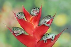 Australian white tree frog on red bud, five cute dumpy frog on red bud, animal closeup, amphibian closeup