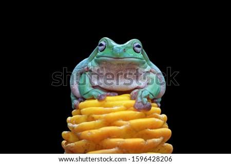 Australian white tree frog on yellow bud, dumpy frog on branch, animal closeup, amphibian closeup