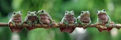 Australian white tree frog sitting on branch, dumpy frog on branch, animal closeup, amphibian closeup