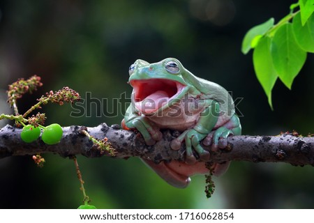 Photo of  Australian white tree frog sitting on branch, dumpy frog on branch, Tree frogs shelter under leaves, tree frog closeup with open mouth