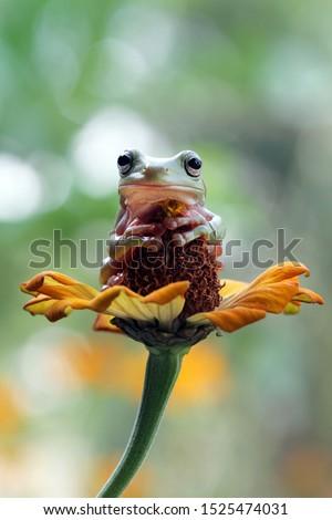 Australian white tree frog sitting on flowes, dumpy frog on branch, animal closeup, amphibian closeup