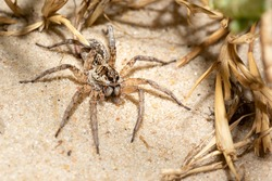 Australian Wolf Spider, hunting on the sand, Lake Bonney, South Australia. Common terrestrial spider. Shallow depth of field, macro detail.