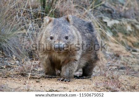 Australian wombat in a wild