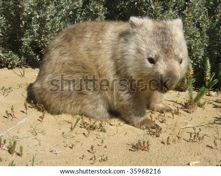 Australian Wombat vombatus ursinus
